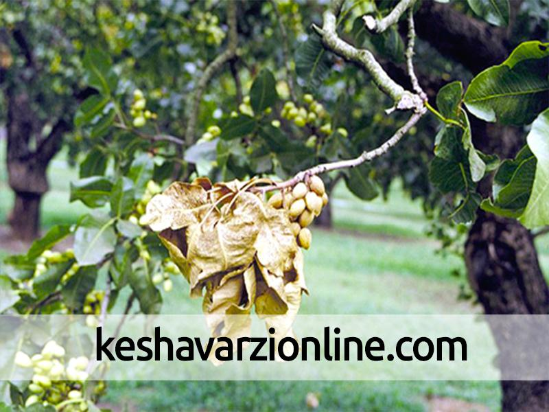 خشکسالیهای پیاپی کاهش تولید بادام را در سرایان رقم زد