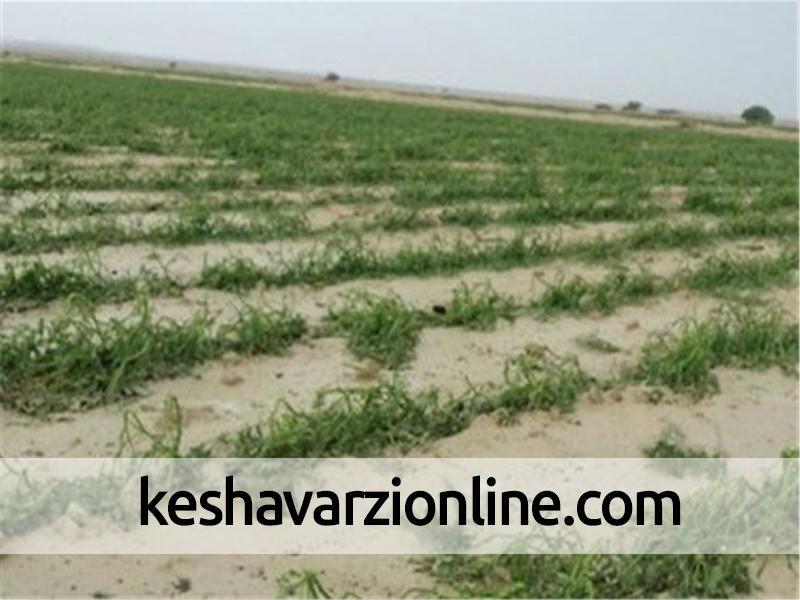 هواپیماهای صهیونیستی زمین های کشاورزی غزه را آلوده می کنند