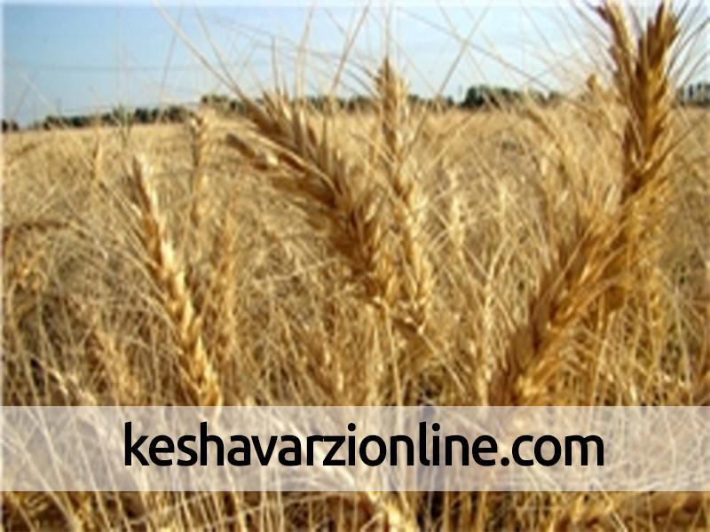 32 هزار هکتار از مزارع مازندران به کشت جو اختصاص یافته است