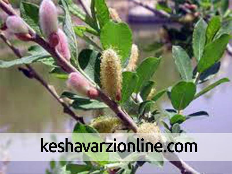 برداشت شکوفه های درختچه بیدمشک در آذربایجان غربی