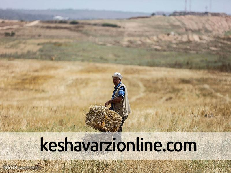 گندم دیم استان بوشهر کاملا از بین رفت