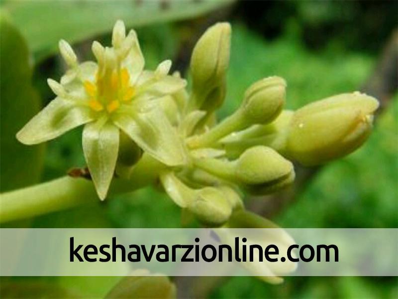 توضیحی در رابطه با گلهای درخت آووکادو
