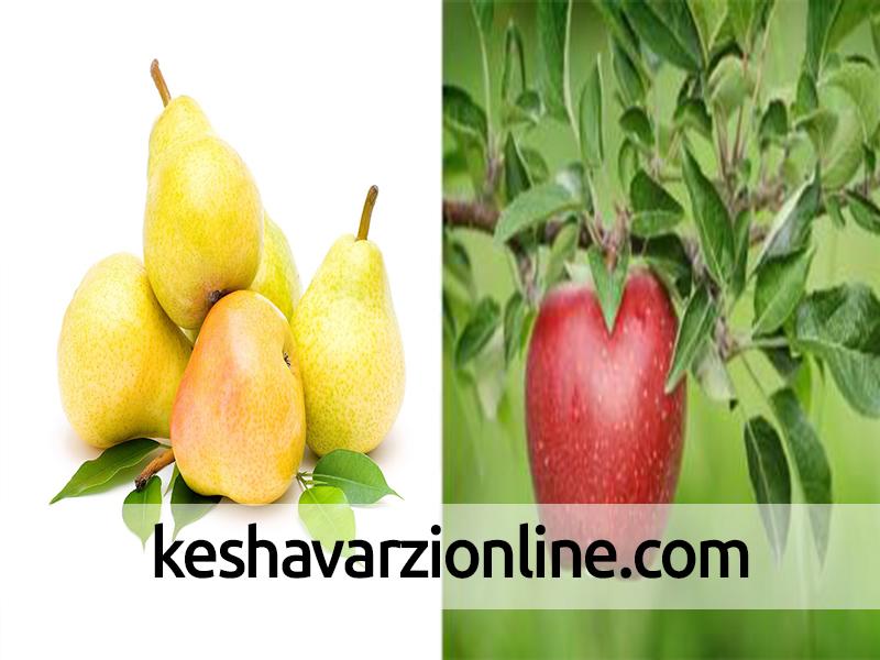 سوختگی پوست سیب و گلابی