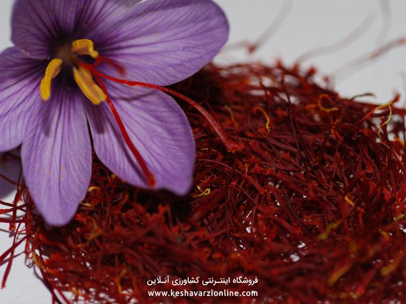 زعفران از زمان کاشت تا برداشت آن