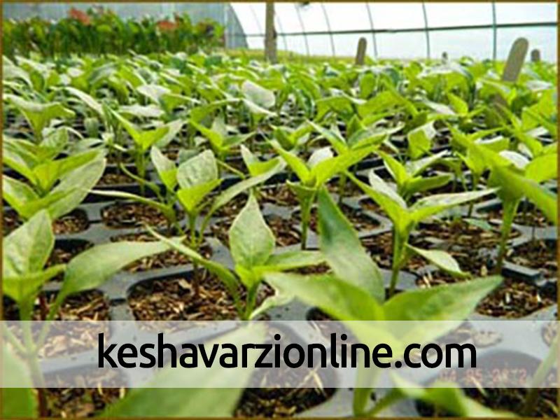آغاز کاشت نشاء گوجه فرنگی خارج از فصل در بندر خمیر