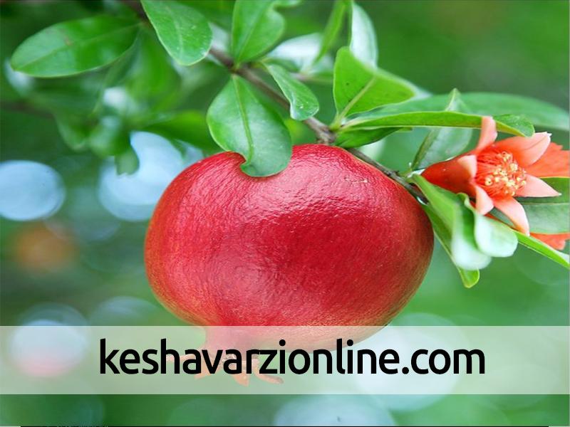 80 هزار تن محصول از انارستانهای یزد برداشت میشود