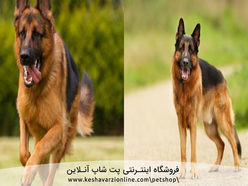 ۱۰ دلیلی که ژرمن شپرد سگ خانوادگی مناسبی است