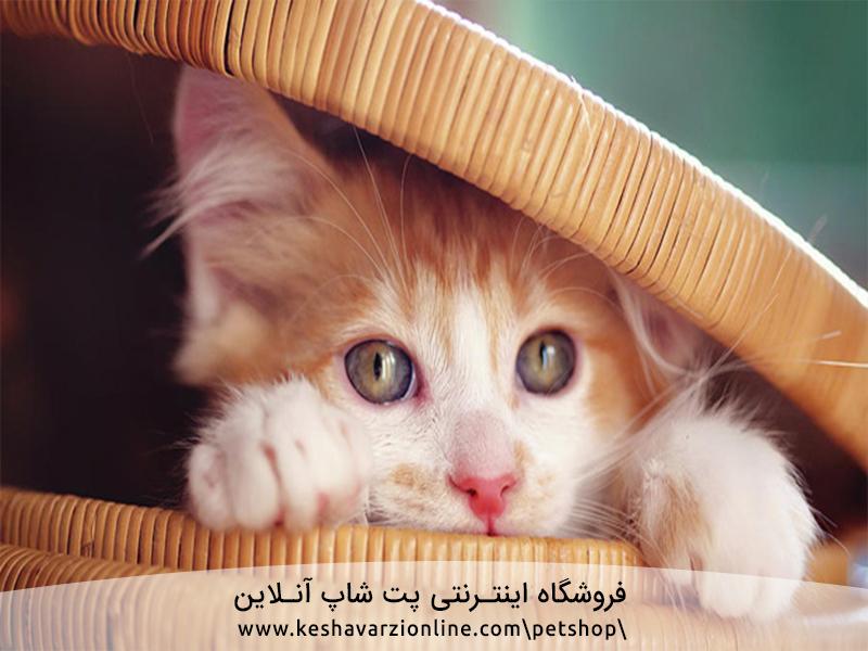 چگونه از بچه گربه بی مادر نگهداری کنیم