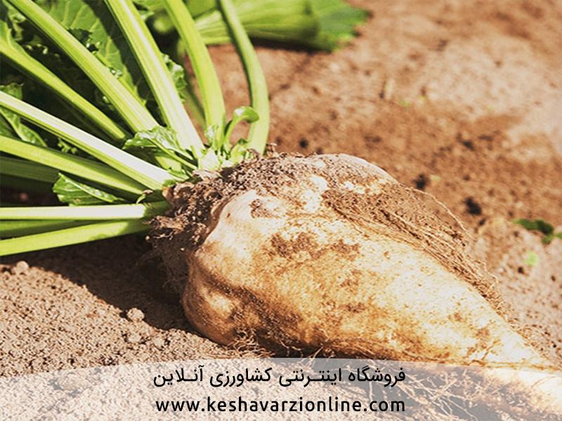نکات طلایی کاشت و افزایش قند و عملکرد در چغندر قند