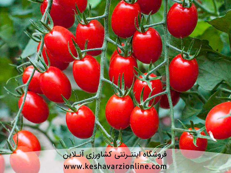 با کود دهی صحیح و برنامه غذایی گوجه فرنگی دو برابر برداشت کنید