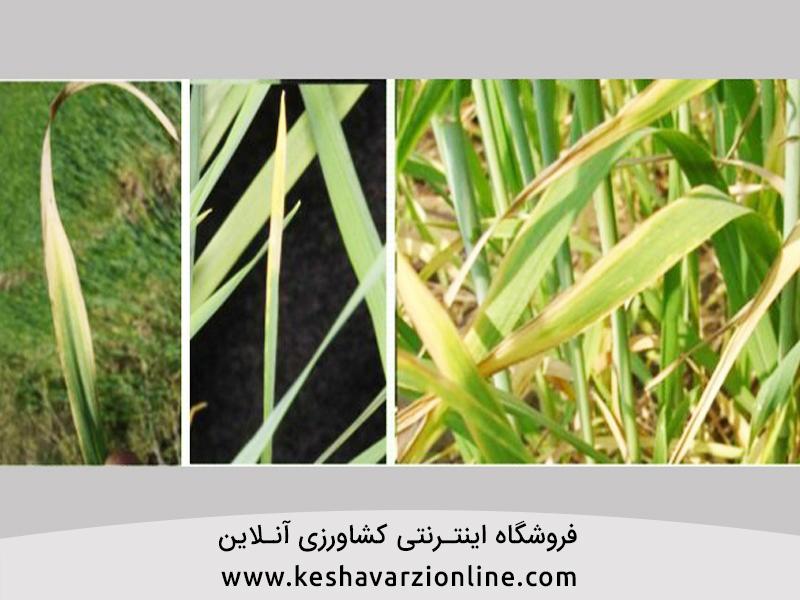بهترین کود برای گندم و نقش ازت و فسفر و پتاس در گندم