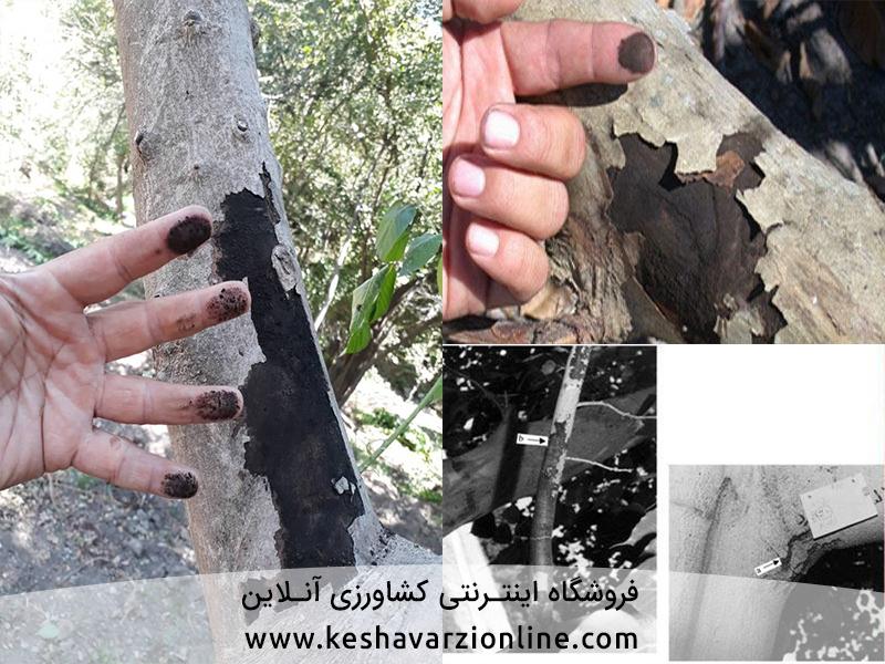 بیماری سر خشکیدگی شاخه و مرگ درختان مرکبات