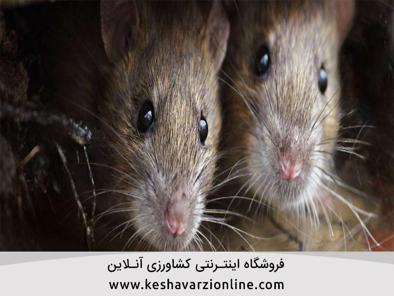 موش و راه های مبارزه با آن