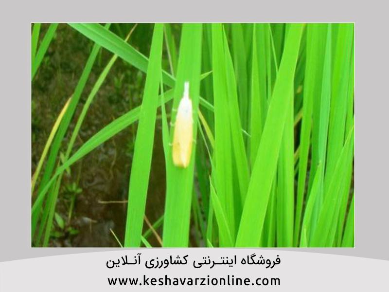 مبارزه با ساقه خوار برنج