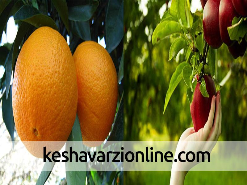 توزیع بیش از 100 هزار کیلو پرتقال و سیب در فیروزکوه