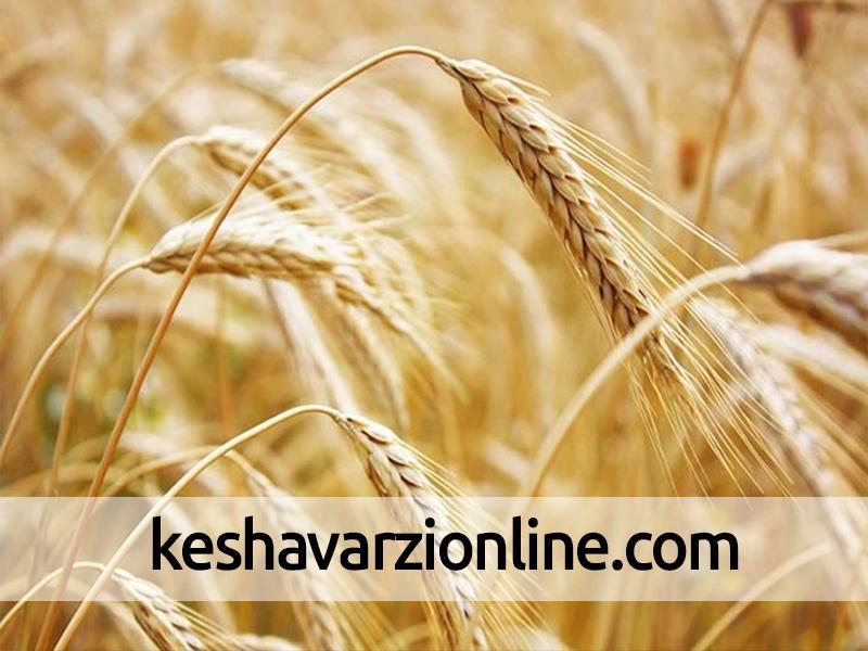 استان کردستان رتبهدار تولید گندم در کشور است