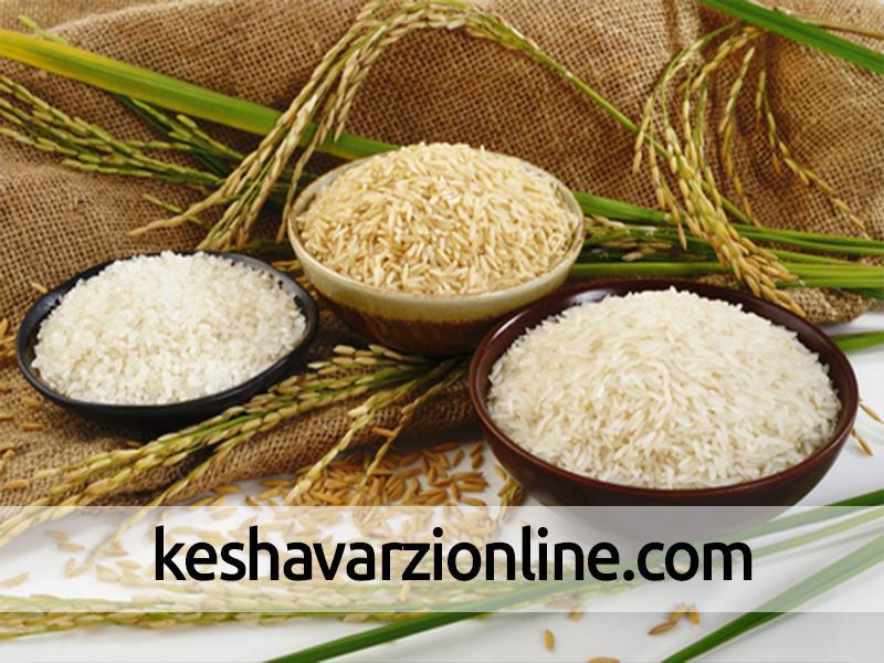 برنج باکیفیت با قیمت ارزان عرضه می شود
