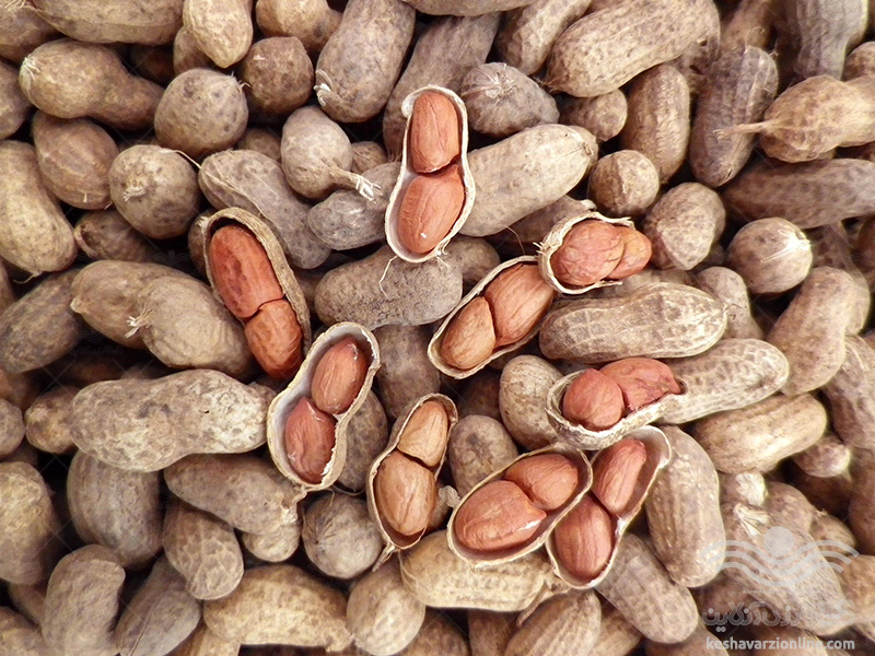 برنامه کامل تغذیه بادام زمینی