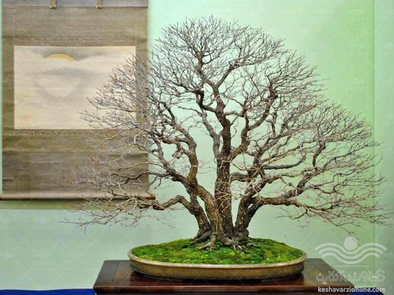 بونسای به سبک چند شاخه