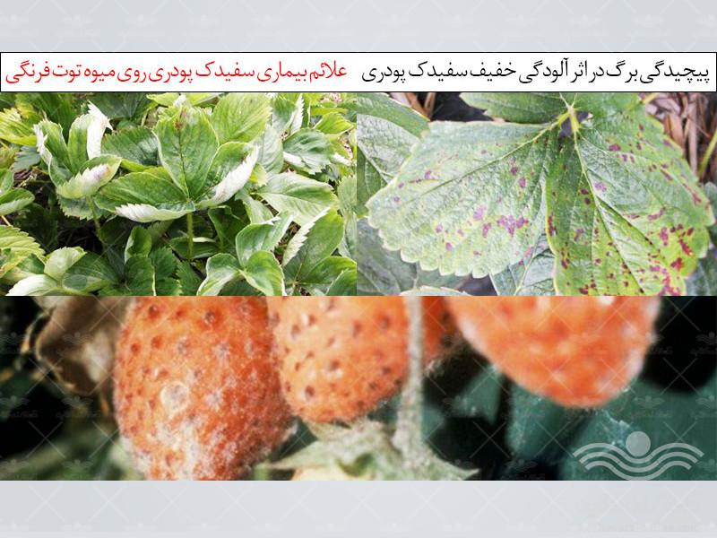 مهمترین بیماری توت فرنگی