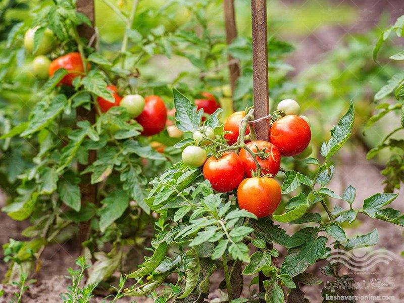گوجه فرنگی بکارید