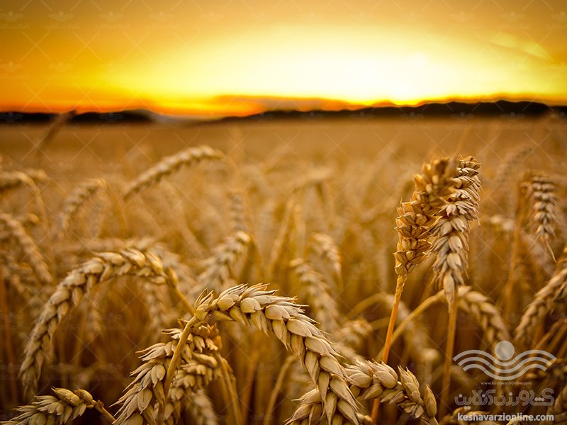 علف های هرز گندم را نابود کنید