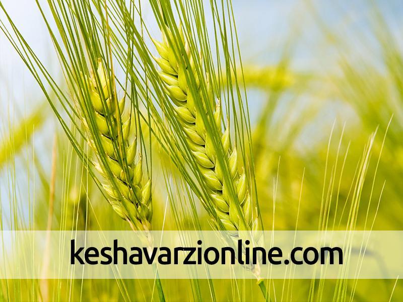 علائم سرمازدگی در گندم پاییزه