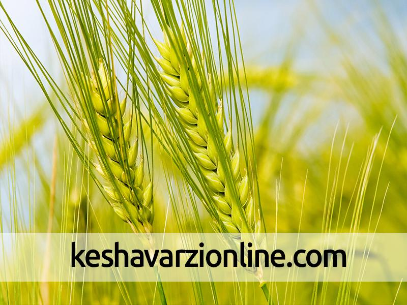 علایم سرمازدگی در گندم پاییزه