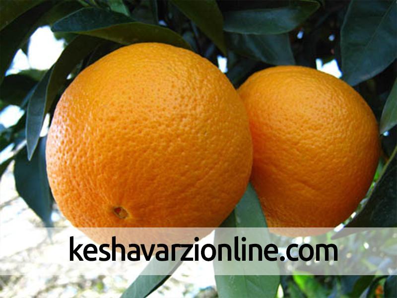 نتیجه بررسی پژوهشکده مرکبات و میوههای نیمهگرمسیری از کیفیت پرتقالهای انباری