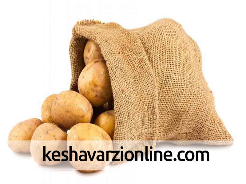 آغاز برداشت سیبزمینی از زمینهای کشاورزی هرمزگان