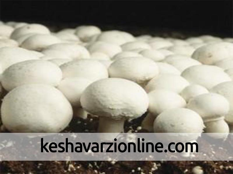 تولید قارچ ۷۲۰ نفر اشتغال در خراسان رضوی ایجاد کرده است