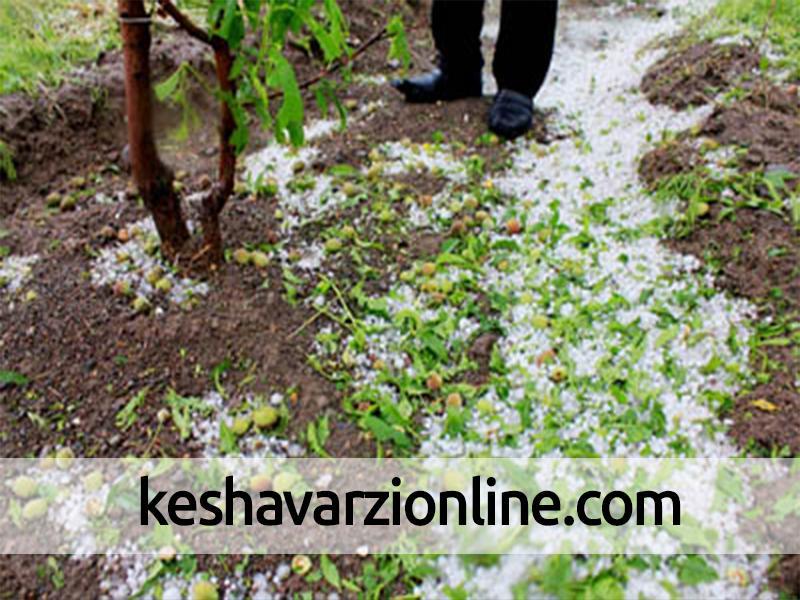 بارش تگرگ و خسارت به محصول زردآلوی ابرکوه