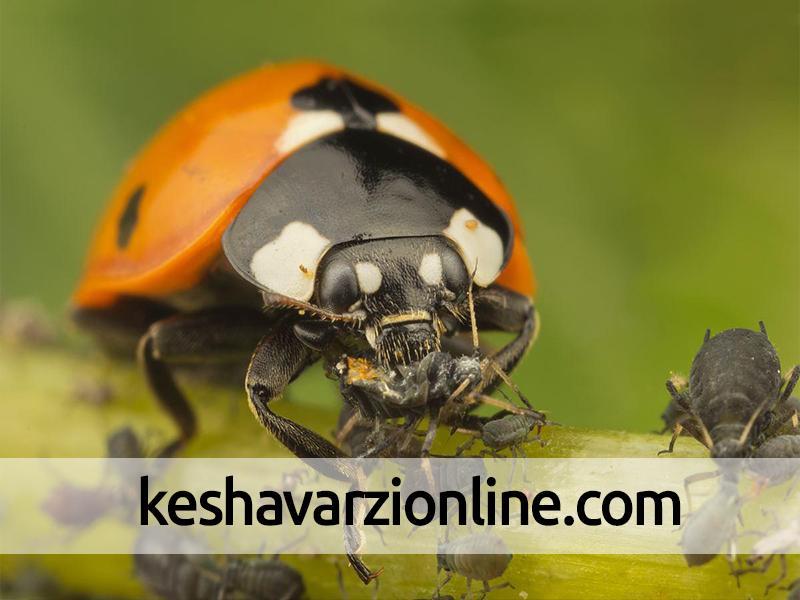 مبارزه بیولوژیک با آفات در 480 هکتار از باغهای چرام