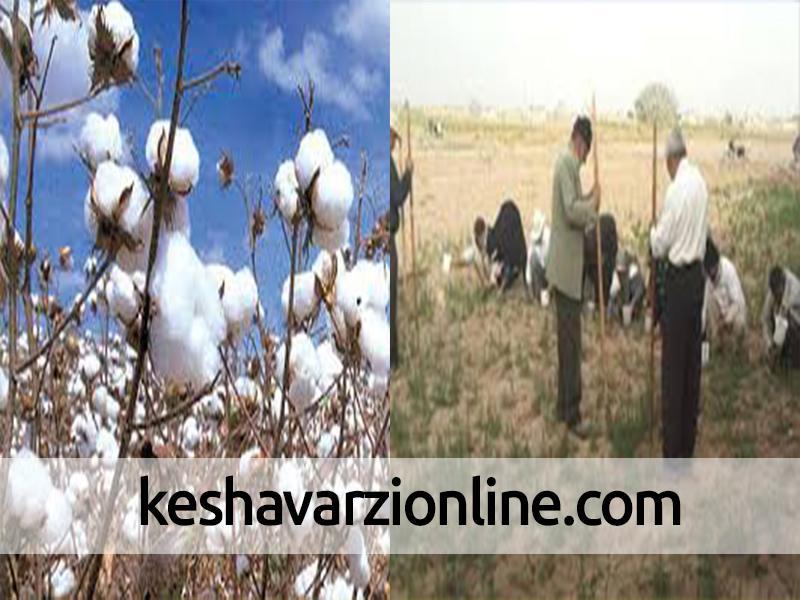 کشت نشاء پنبه در اراضی کشاورزی خراسان جنوبی