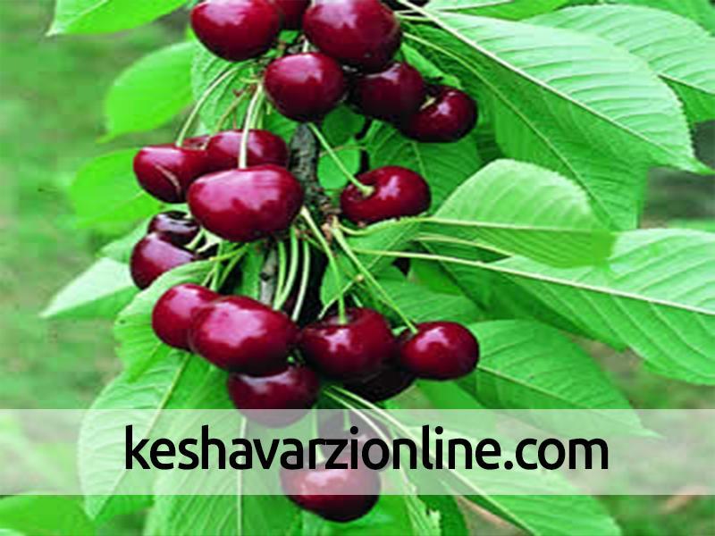 تولید نیمی از گیلاس استان سمنان در شاهرود