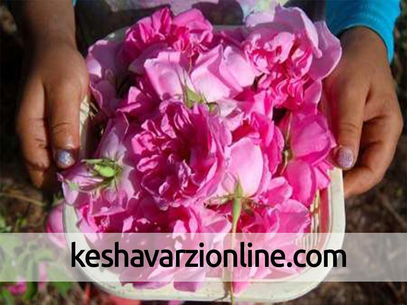 برداشت گل محمدی در مناطق گرم استان اصفهان آغاز شد