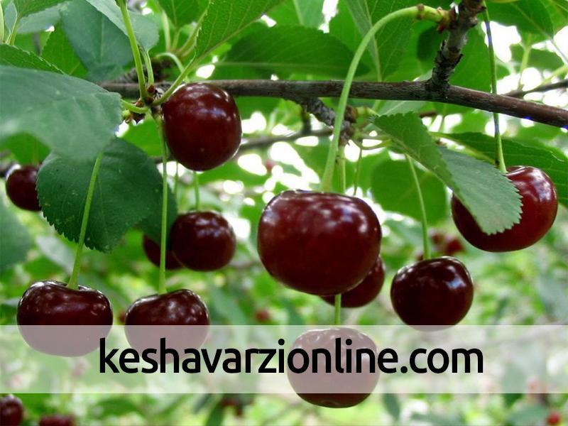 برداشت 7300 تن انواع گیلاس از باغات استان اصفهان