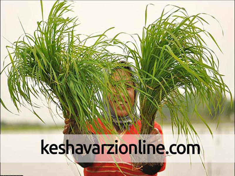 برداشت برنج و روش های مختلف آن
