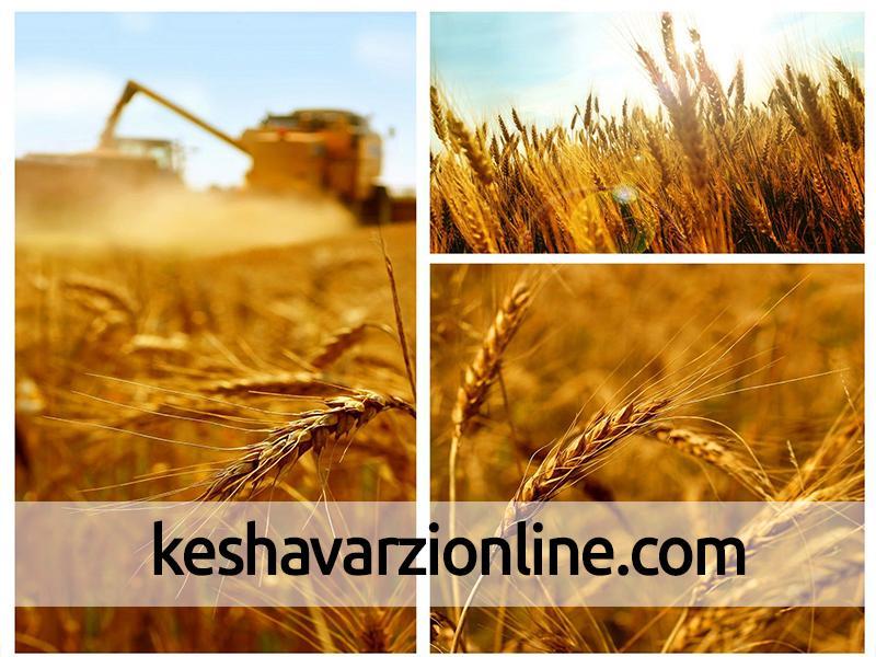 محصول 88 درصد مزارع گندم کلاله برداشت شد