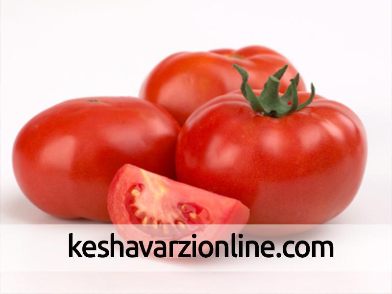 پیشبینی تولید ۱۱۲ هزار تن محصول گوجهفرنگی در خراسان شمالی