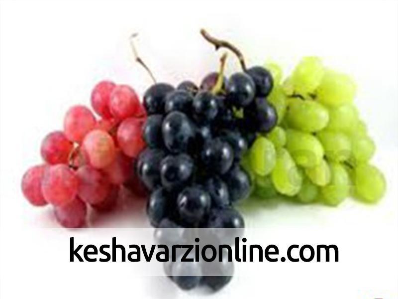 برداشت 280 تن انگور یاقوتی از تاکستان های جنوب کرمان