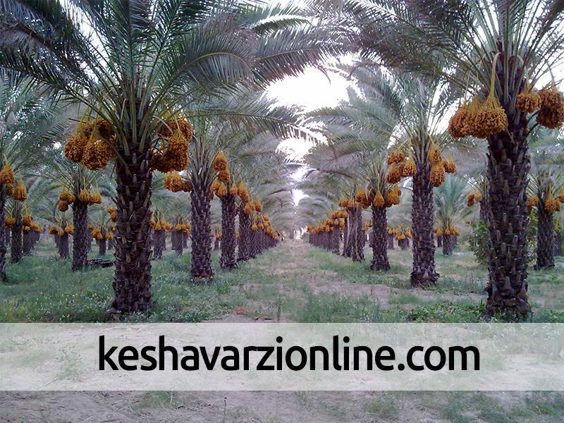 مبارزه با کنه تارتن در نخلستانهای خوزستان