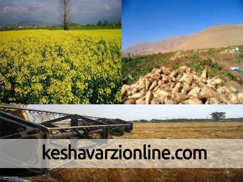 کشت گیاهان علوفهای در ۵۰ هکتار از اراضی کشاورزی شهرستان قزوین