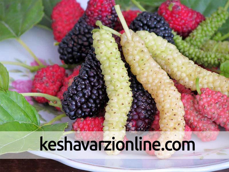 آغاز برداشت بیش از 250 تن میوه توت درختی در آذربایجان غربی