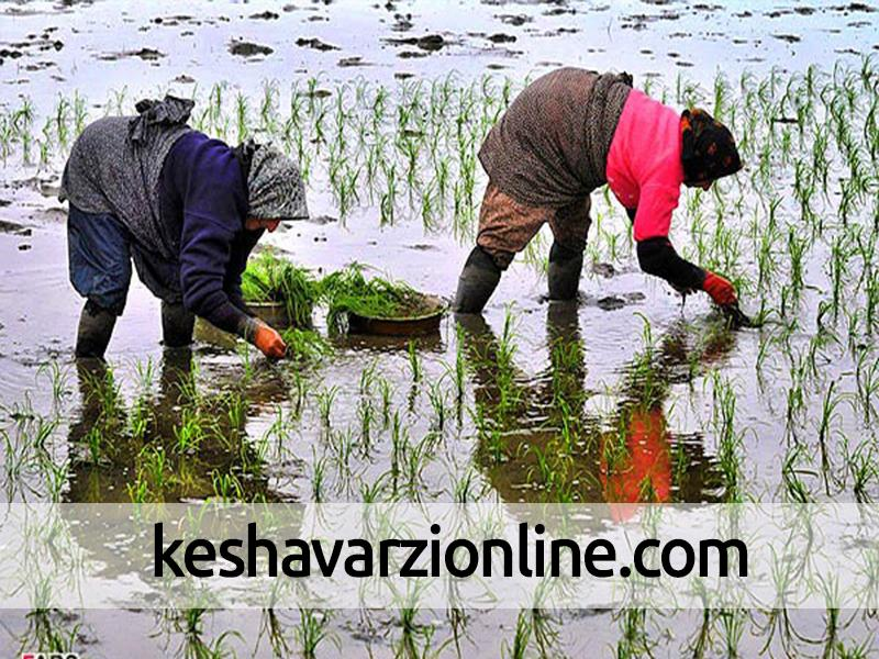 نشاکاری برنج در شهرستان شوشتر آغاز شد