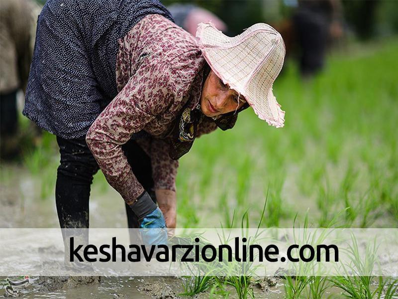 900 هکتار از اراضی شالیزاری بهشهر در معرض کمبود آب