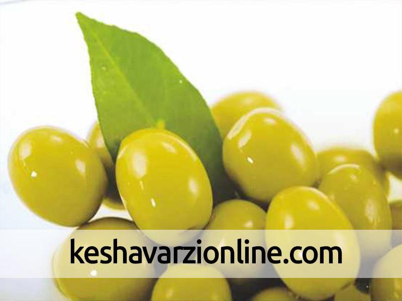 استفاده از زیتون در تولید 28 محصول فرآوری شده