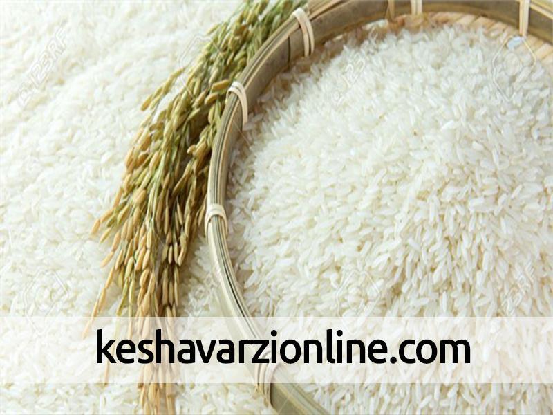آغاز خوشه شدن برنج در سوادکوه شمالی