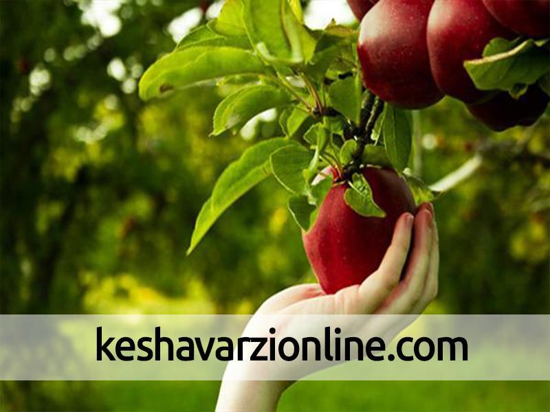 پایان برداشت سیب درختی از 20 هکتار باغهای بشاگرد
