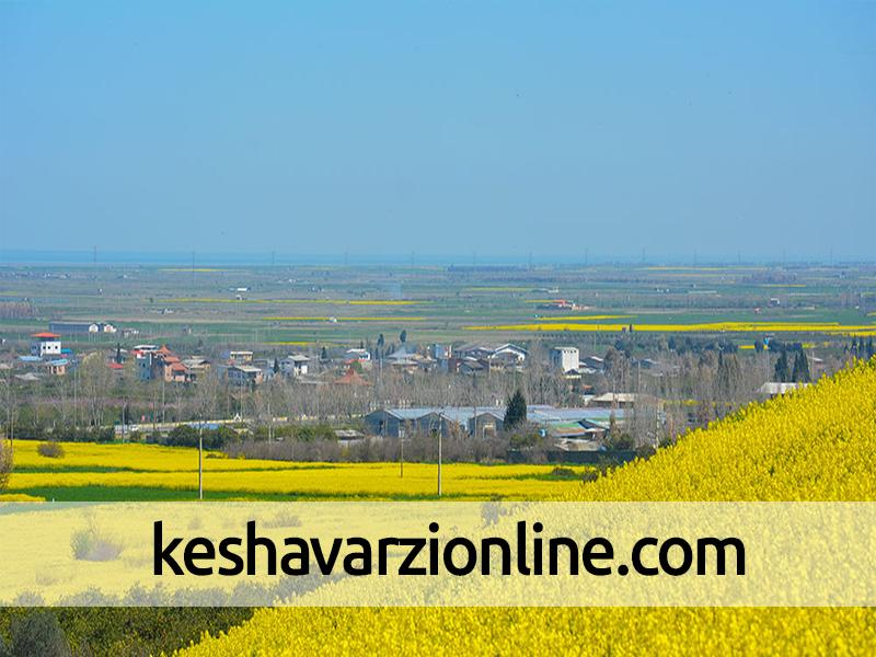 رکورد تولید کلزای کشور در مزارع کرمانشاه شکسته شد